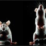 Un estudio asegura que los ratones pueden aprender canciones