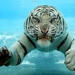 Tigres bajo el agua