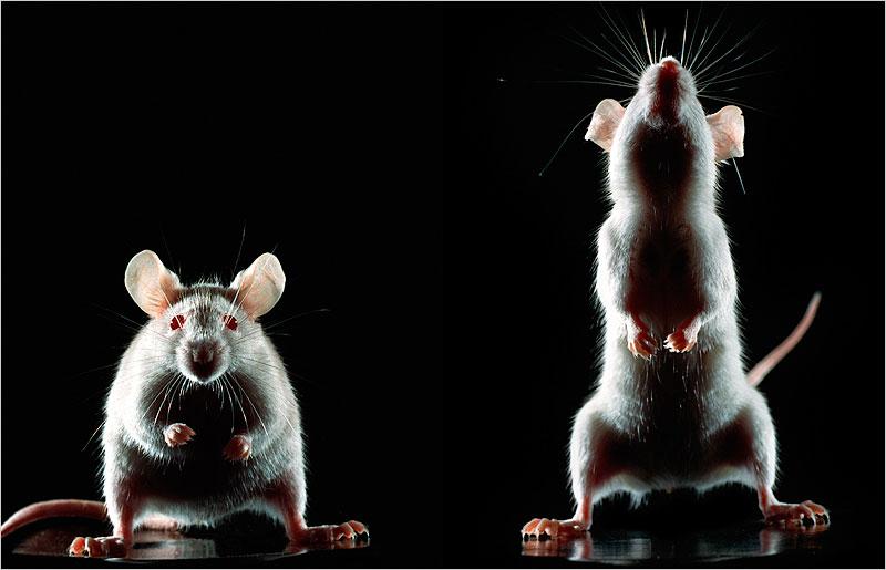 ratones aprenden canciones
